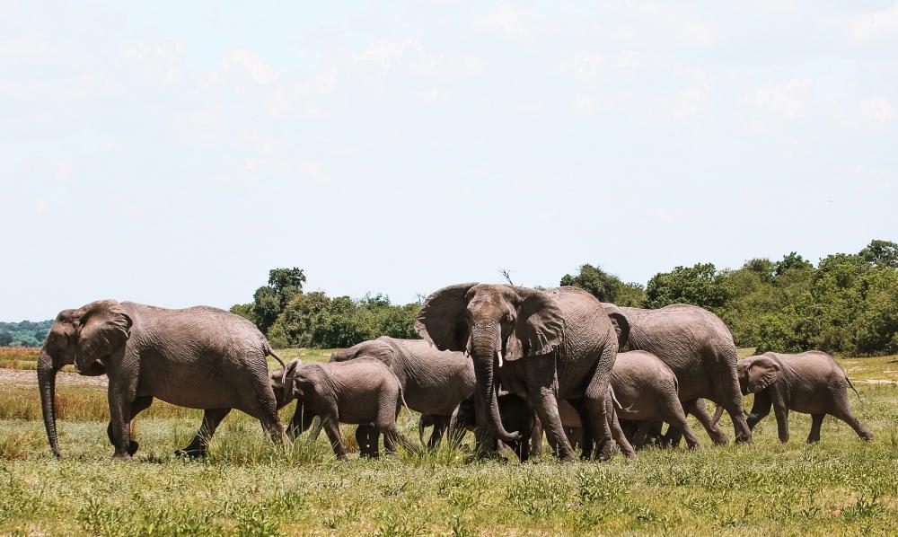 Herd of elephants in Botswana
