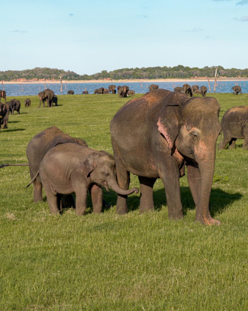 Elephants in Sri Lanks