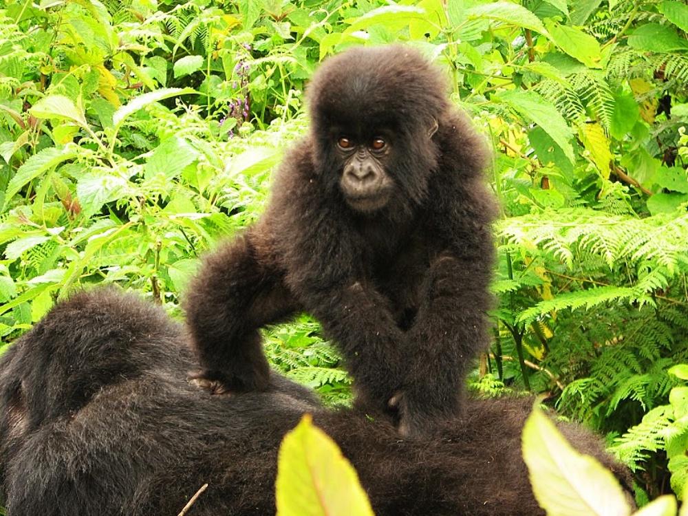 silverback mountain gorillas