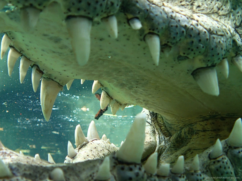 Things to do in South Africa : Cage Dive With Crocodiles