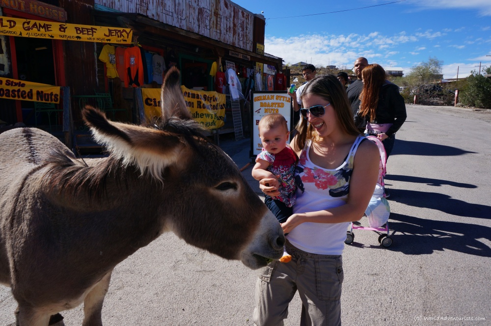 Feeding a burro in Oatman