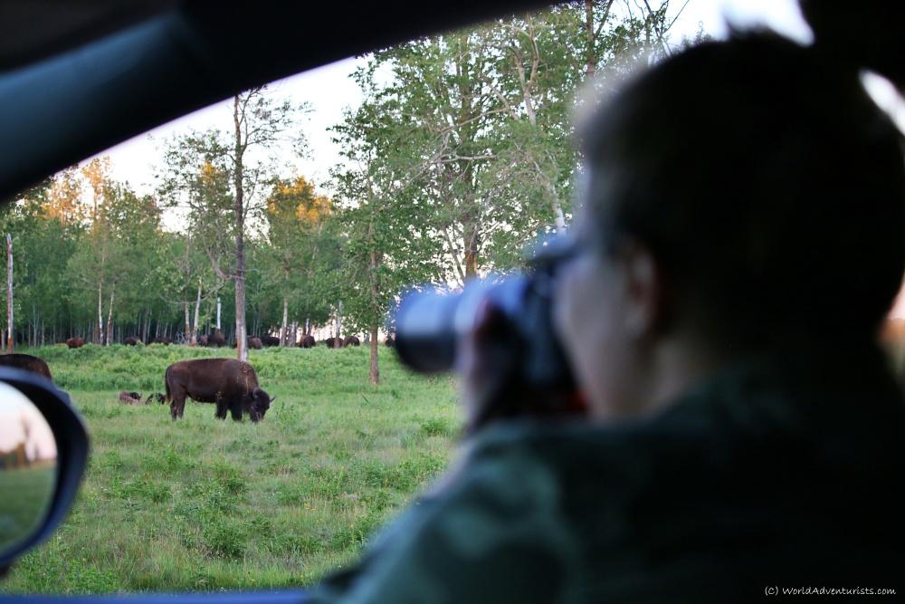 Bison wildlife encounter